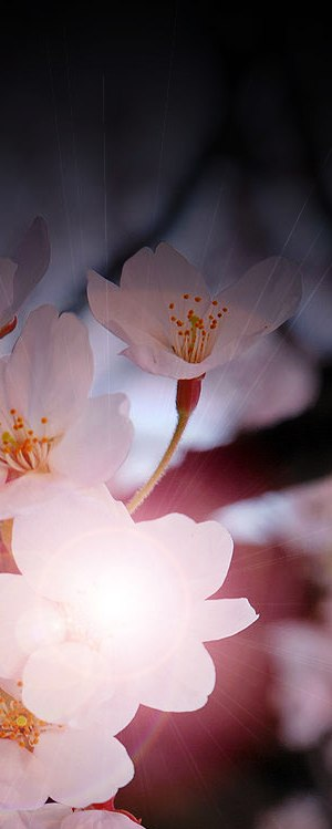 """Rekha Valliappan, """"Sakura"""""""
